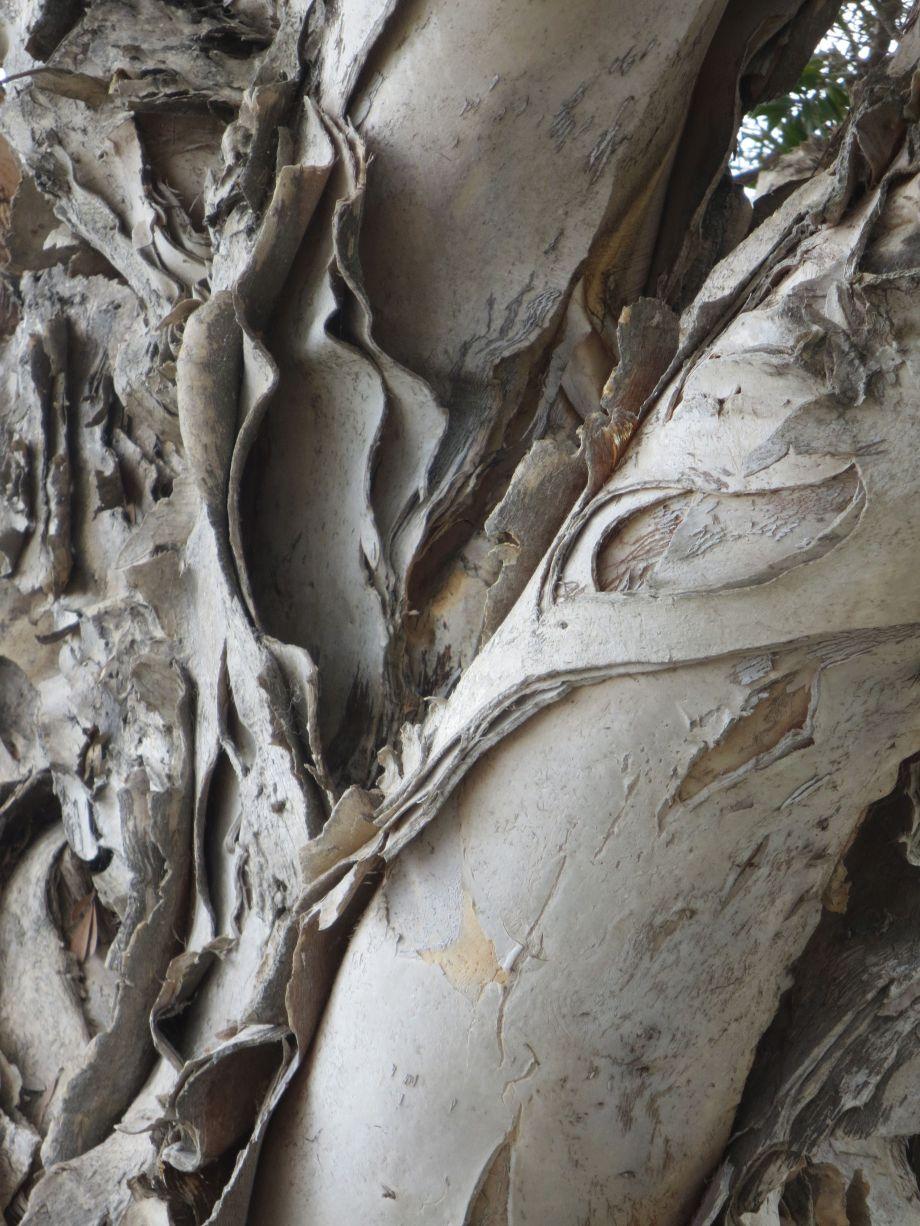 peeling eucalyptus trunk cu
