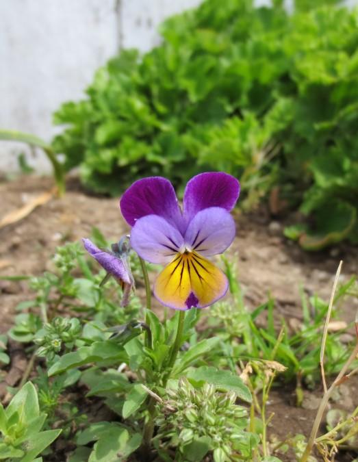 purple weed flower