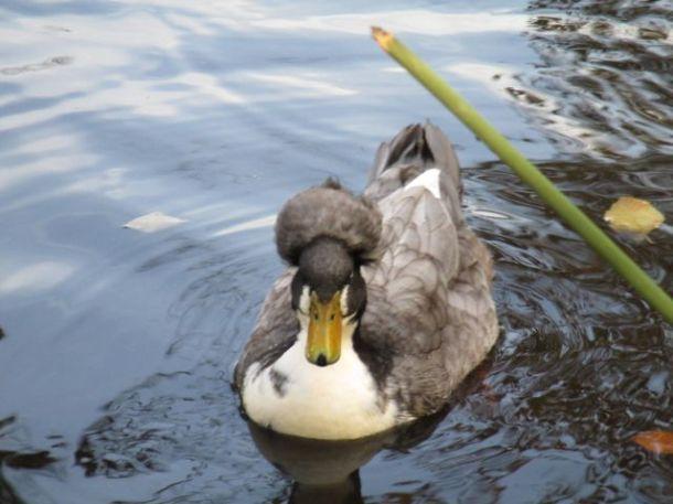 Russian Duck