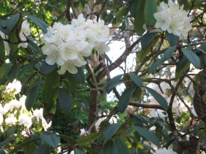 Rhododendrons-White