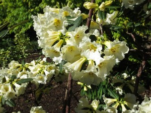 Rhododendrons--Yellow
