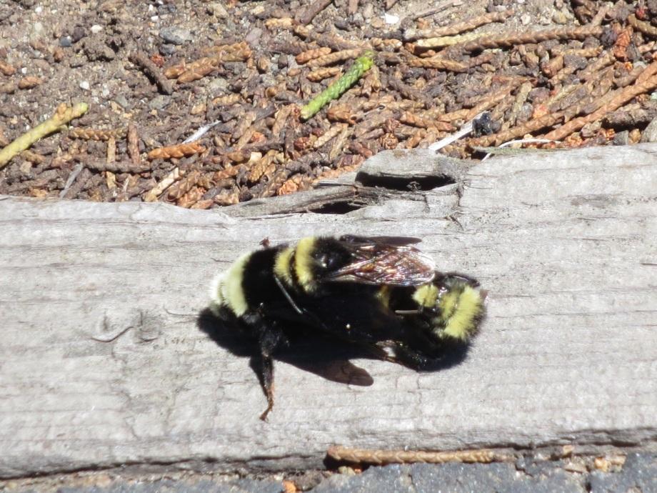 Bumblebee Sex