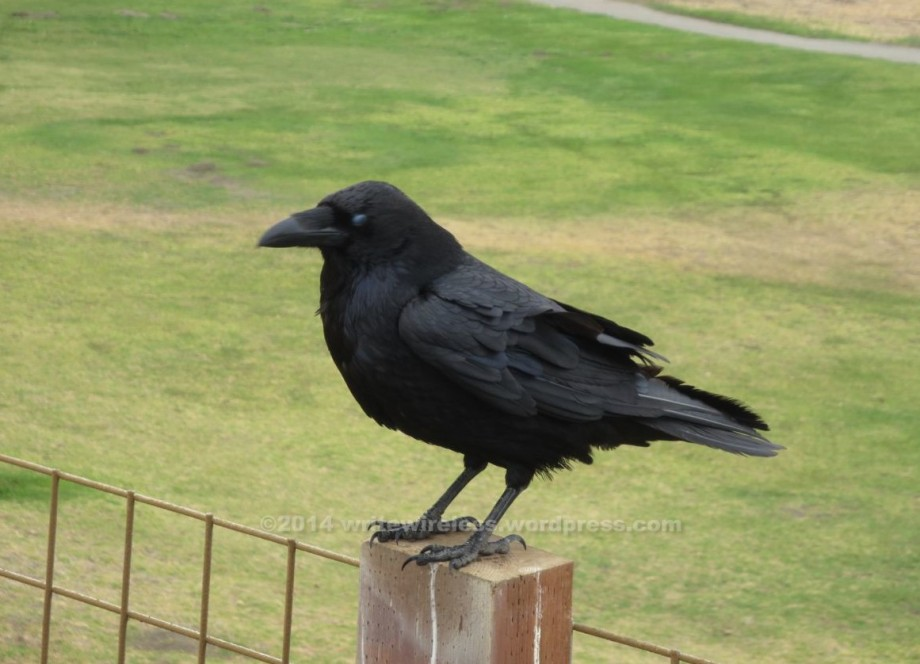 Glass-eyed crow
